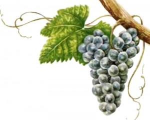 Виноград гаме