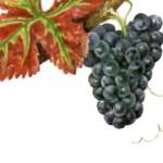 Виноград Пино менье