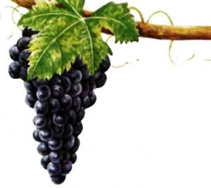 Виноград Сира