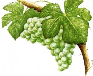 виноград Сoвиньон блан