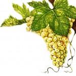 Виноград мускат мелкозернистый