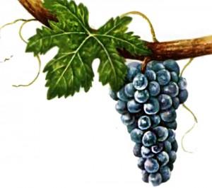 Цифандель виноград