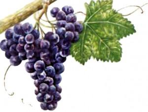 Виноград Гренаш