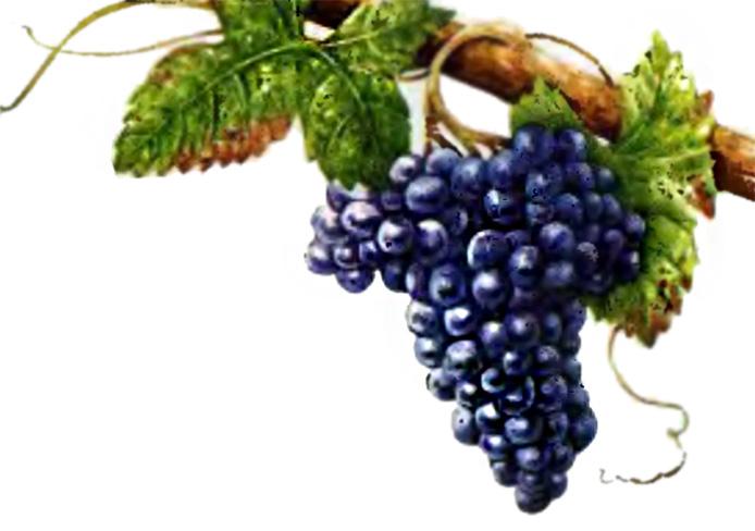 Основные сорта винограда Франции
