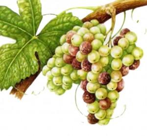 виноград Семийон