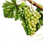 Виноград Шенен-блан
