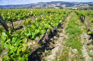 виноградники грузии